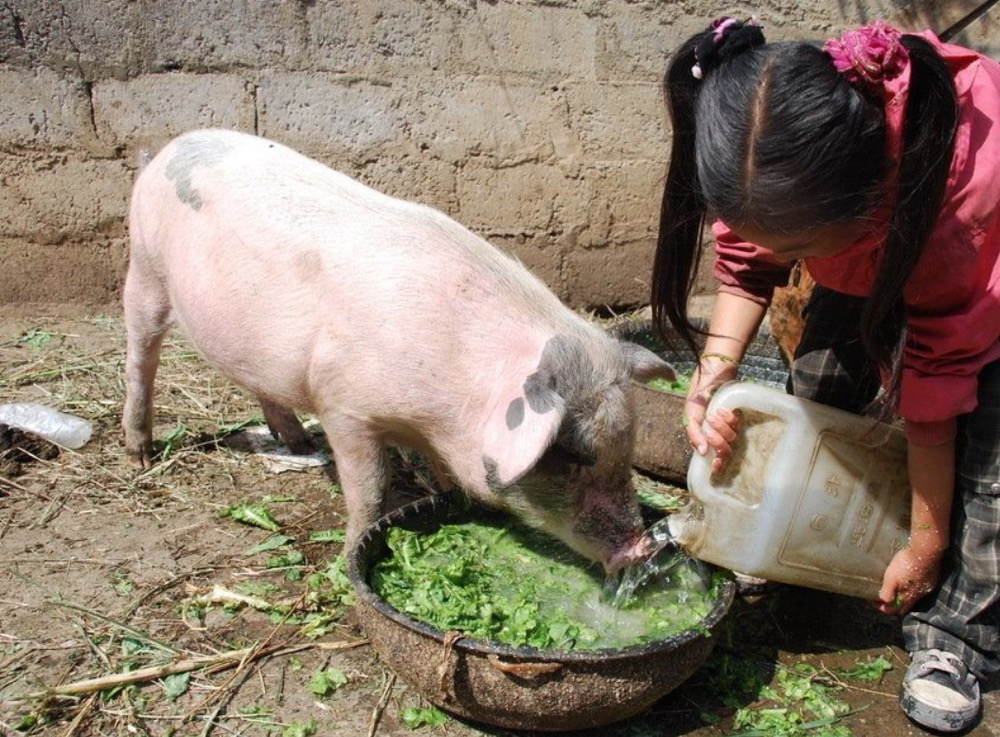 饲养过程中用杂料喂猪需要注意的几项问题