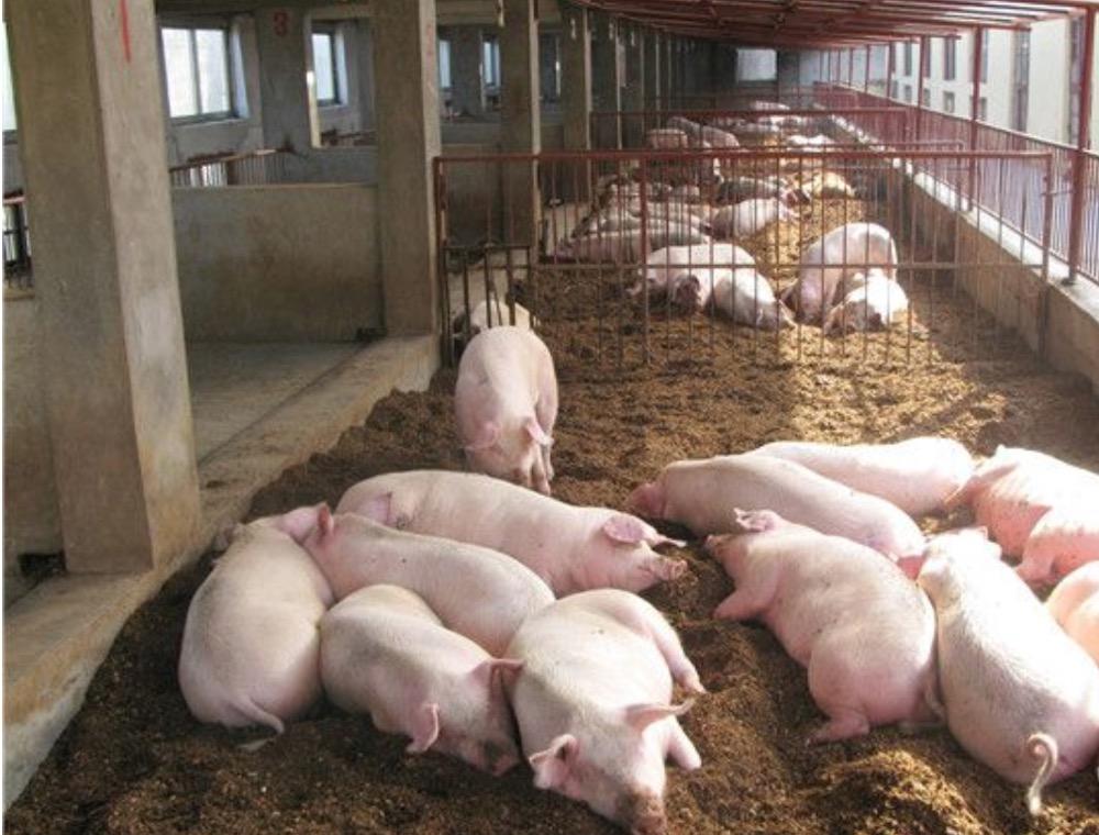 冬季养猪三大妙招帮你降低投资成本