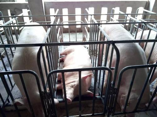 养猪场常用的几种夏季降温方法,看看哪种更适合您的猪场?