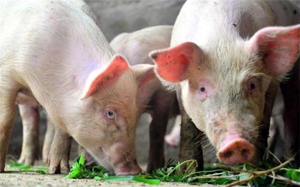 出栏生猪体重两极分化,市场传来二个利好,4月猪价将强势反弹