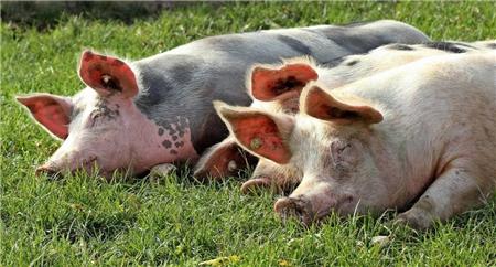 促使母猪发情排卵10个妙招