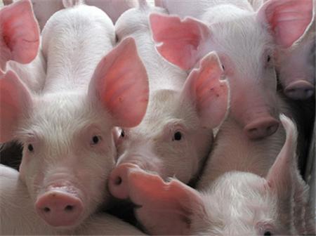 母猪怎样多产仔,受孕率高,如何配种是关键