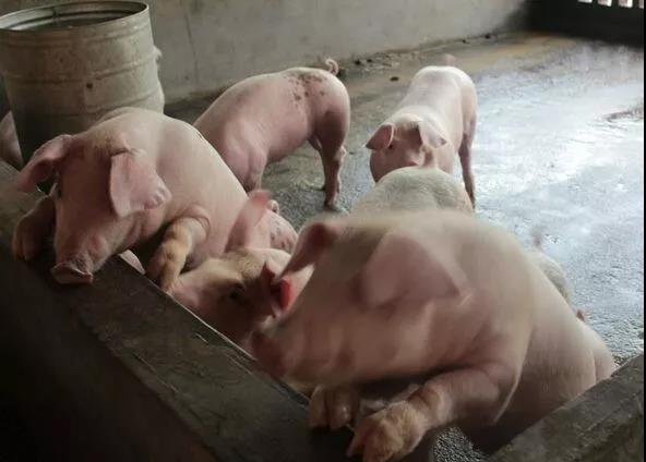 快速判断母猪发情配种的表现!